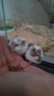 Campbell Hamster Junges