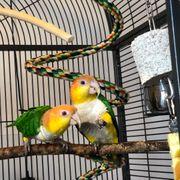 Rostkappenpapagei Papagei Vogel Haustier