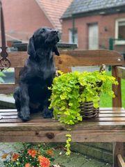 Schwarzer Labradorrüde sucht noch ein