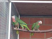 1 1 Kuba Amazone