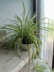 große Grünlilie im Pflanzcontainer - sowie