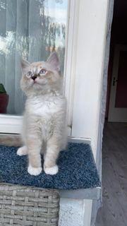 Türkish angora Van Katze ragdoll