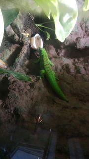phelsuma grandis