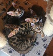 Bengal Leoparden Kitten
