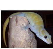 Goldgecko Gecko auratus