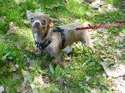 Chihuahua - Rüde besondere Farbe und