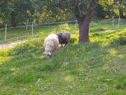 4 Schafe zu verkaufen