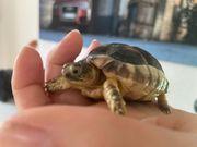 Schildkröte Breitrandschildkröte NZ 2020