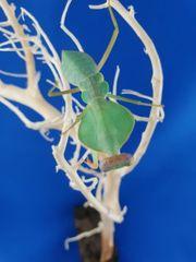 Mantiden Mantis