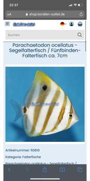Falterfisch Glasrosenfresser Meerwasser