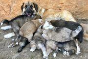 Leonbergermix mal Australien Shepherd Welpen