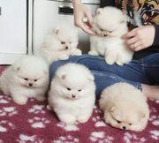 Schöne Pomeraniannelpenas zu verkaufen