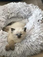 Ragdoll Heilige Birma Kitten