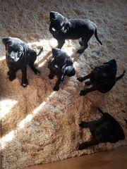 Rottweiler-Labrador Welpen ab SOFORT abzugeben