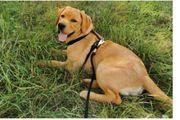 Labrador Hündin gelb 7 Monate