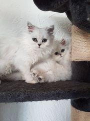 Reinrassige Perser-Kitten-Kätzchen