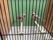 Mosaik-Farbkanarienvögel abzugeben