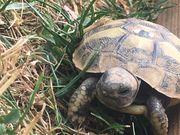 Testudo hermanni böttgeri Griechische Landschildkröten