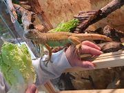 Chamäleon Leopardgecko Kronengecko Taggecko Vogelspinnen