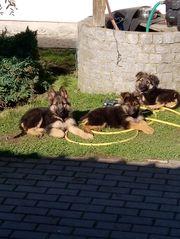 Schäferhund Welpen Mix