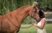 Araber Wallach Freizeitpferd Geländepferd Wanderreitpferd