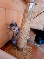 Wundervolle Kätzchen suchen lievolle Katzeneltern
