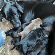 8 Labrador Mischlingswelpen