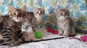 Sibirische Katze 2 Kitten Männchen