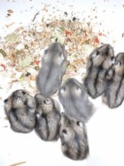 hamster weibl sucht neues Zuhause