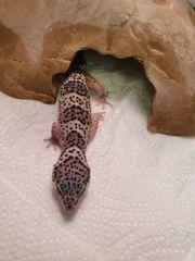 leopardgecko noch ein jungtiere vom