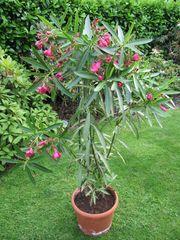 Oleander verschiedene Größen