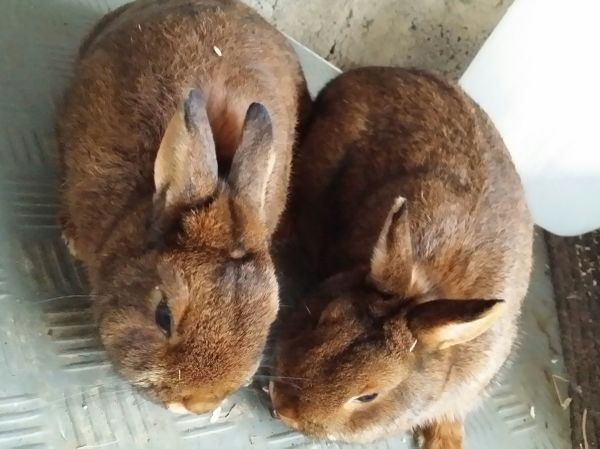 Kaninchen Zwergkaninchen Farbenzwerge » Kleintiere
