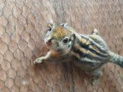 Chinesische Baumhörnchen
