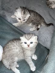 4 BLH BKH Kitten Tabby
