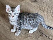 Bengal Kitten Silber und Silber