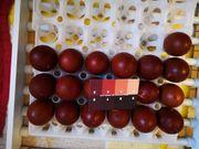 Marans aus SEHR dunklen Eiern