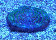 Funghia Koralle Meerwasser