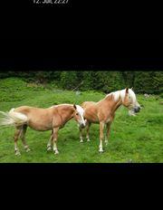 2 Haflinger Pferde suchen Pflegerin
