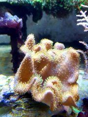 Meerwasser Weichkoralle Pilz mit grünen