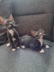 Kanadische schwarze Sphinx Kitten