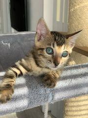 Wunderschöne Kitten mit einem raren