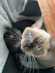 BKH Kitten- abholbereit