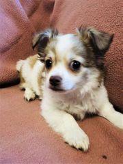 Schöne Malteser-Chihuahua Mix Welpen