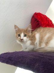 Wunderschöne Maine Coon Kitten Katzen