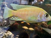 Malawi Barsche Buntbarsche Aulonocara Aquarium
