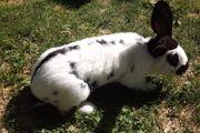 Kaninchen-Bock-Riesenschecke-aus 2019 groß ca 6
