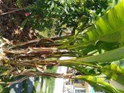 Bananen Teichpflanzen Seerosen Rohrkolben Binsen