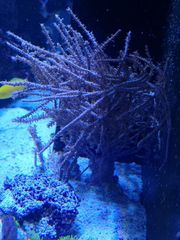 Korallen Meerwasser Gorgonia Anfängerkoralle