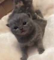 Bhk SF kitten