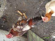 Shamo Hahn und Huhn